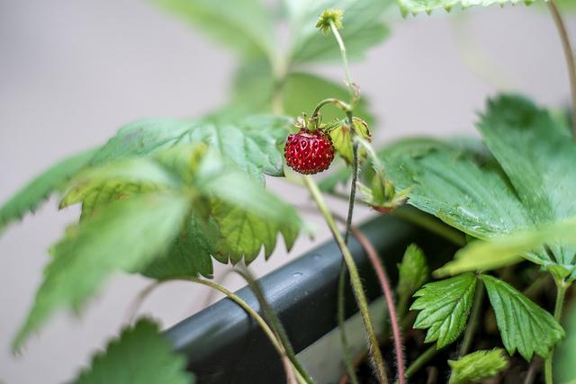 Erdbeere am Strauch © Andreas Dantz - cc Lizenz Flickr.com