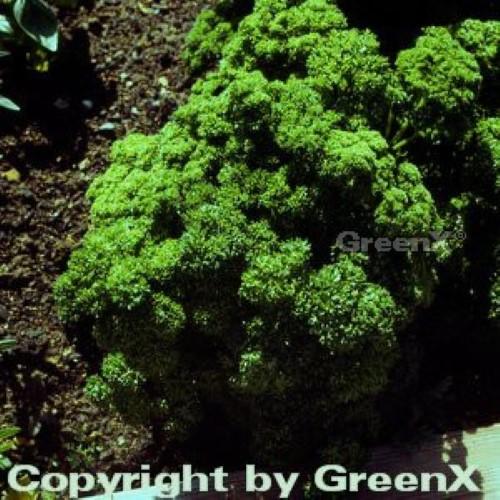Petroselinum-crispum-Smaragd