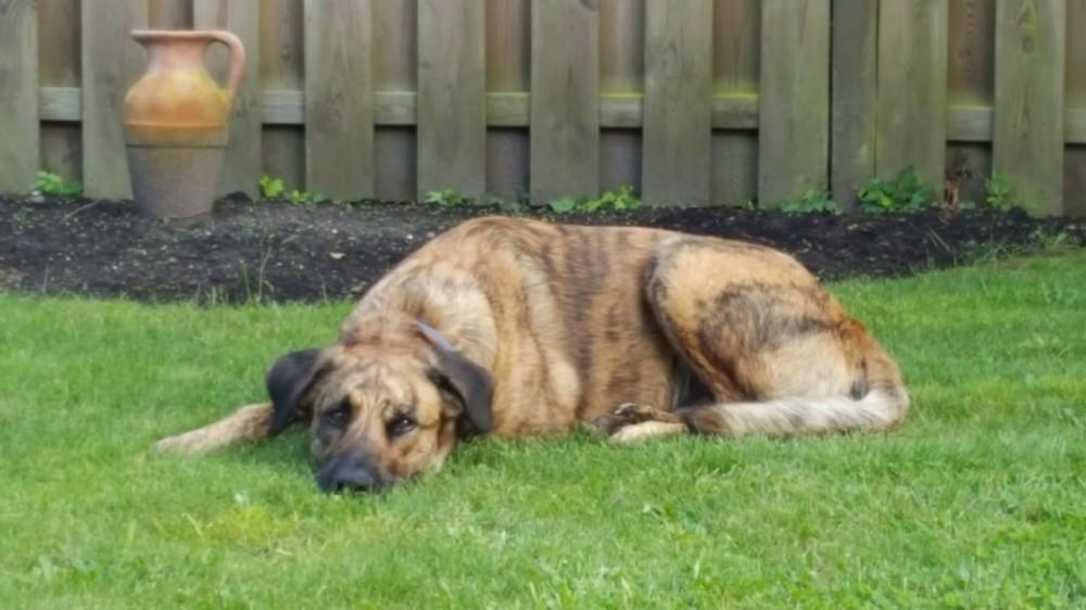 Hund liegt im Garten auf dem Rasen