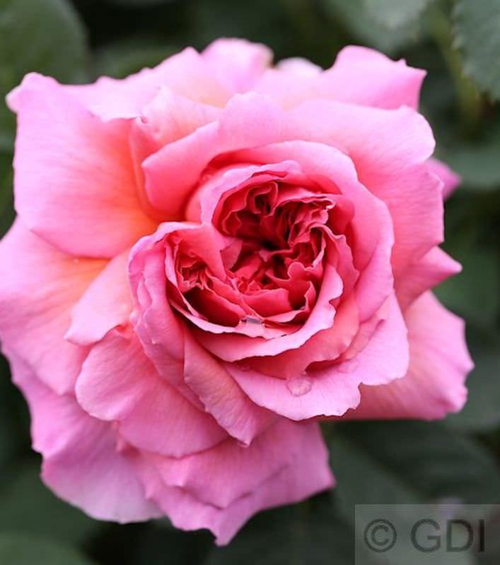 Hochstamm-Rose-Princess