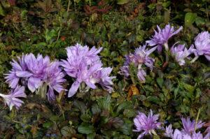 Colchicum autumnale Waterlily
