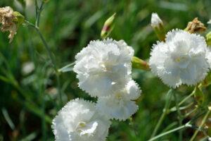 Dianthus plumarius Albus Plenus