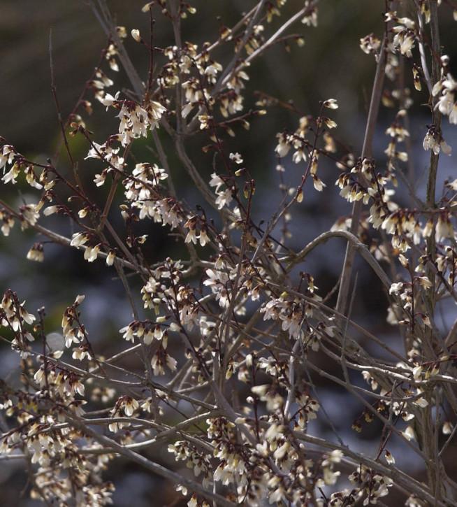 Schneeforsythie Roseum 125-150cm - Abeliophyllum distichum