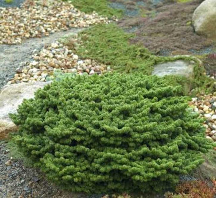 Zwerg Balsam Tanne Piccolo 30-40cm - Abies balsamea