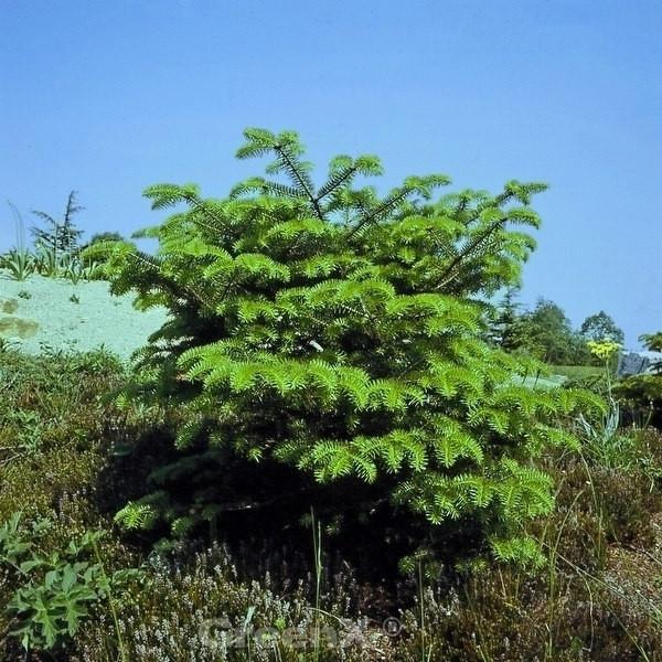 Griechische Zwerg Tanne Meyers Dwarf 30-40cm - Abies cephalonica