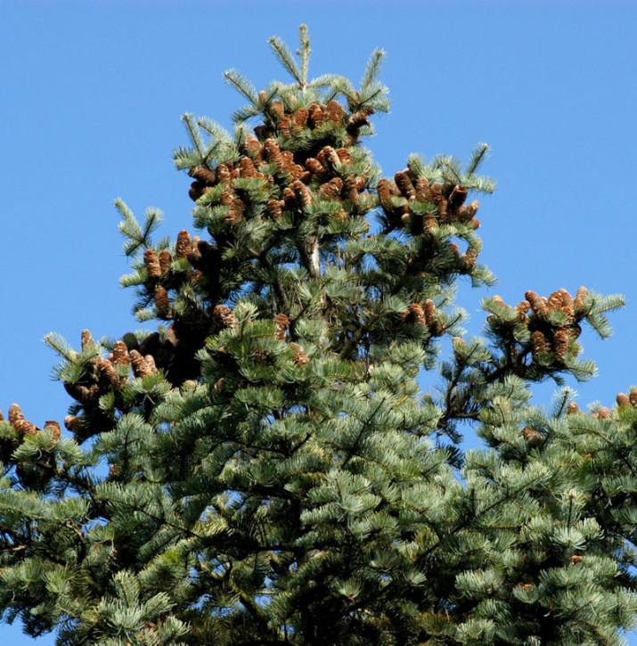 Coloradotanne 40-60cm - Abies concolor