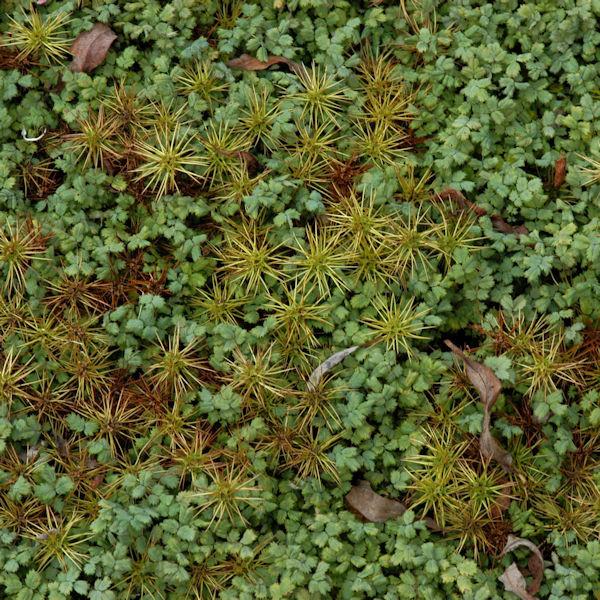 Magellan Stachelnüßchen - Acaena magellanica