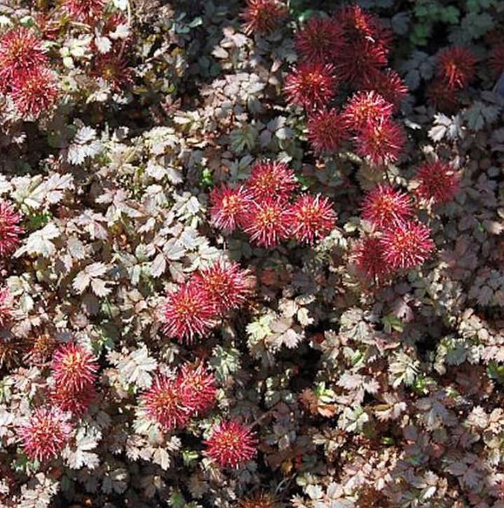 Stachelnüßchen Kupferteppich - Acaena microphylla