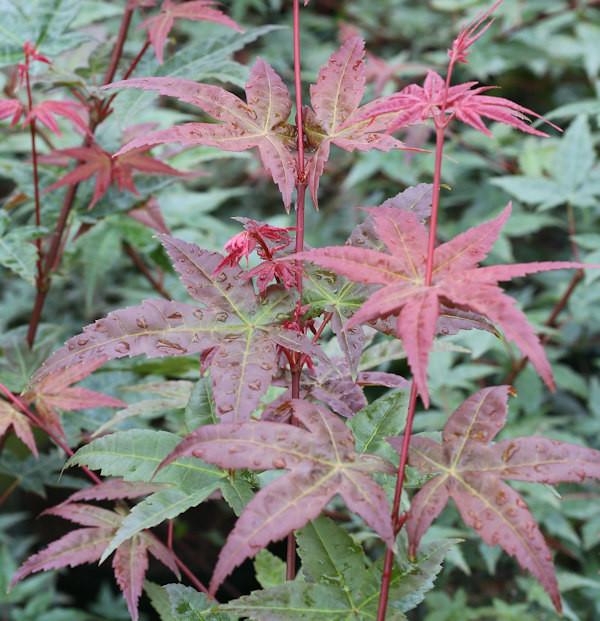 Fächerahorn Beni Komachi 60-80cm - Acer palmatum