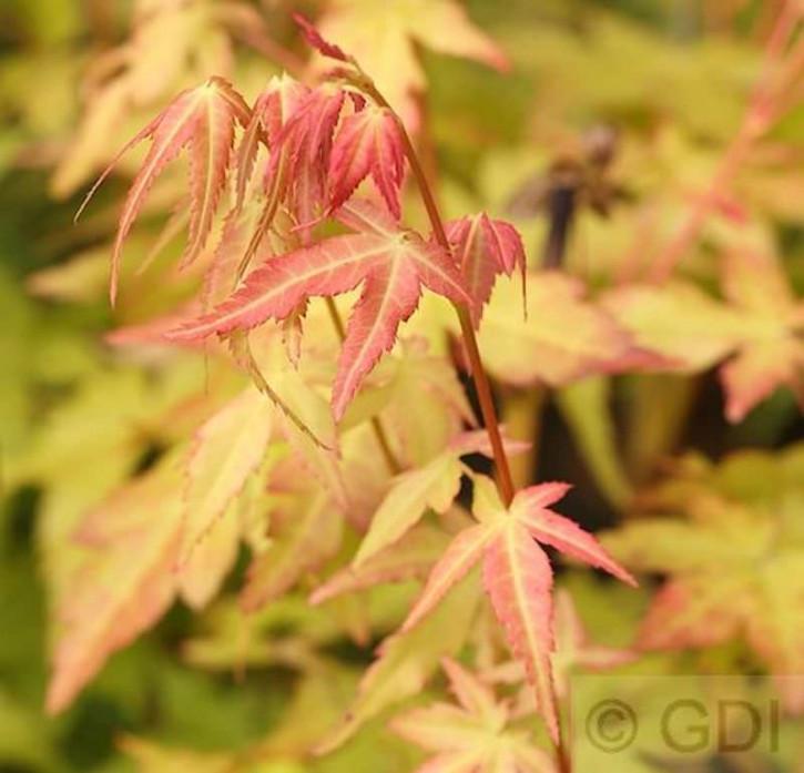 Fächerahorn Bii-Hoo 60-80cm - Acer palmatum
