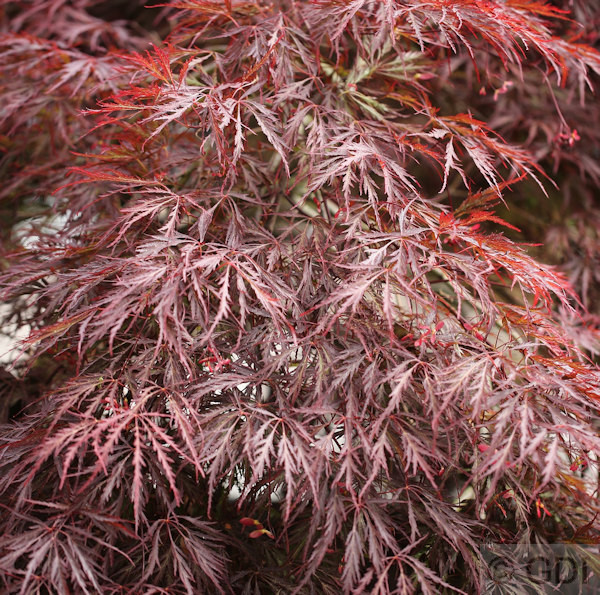 dunkelroter schlitz ahorn garnet acer palmatum dissectum. Black Bedroom Furniture Sets. Home Design Ideas