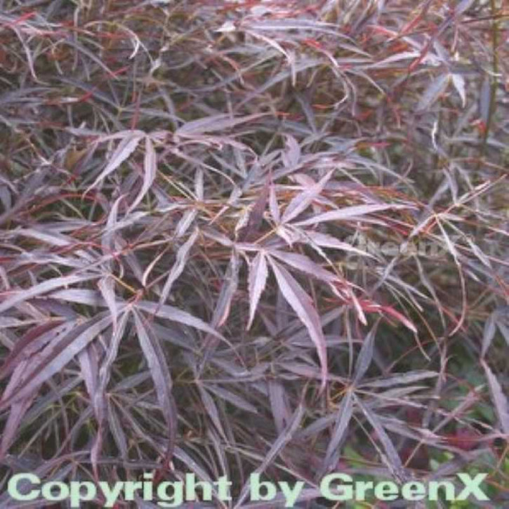Fächer Ahorn Red Pygmy 40-50cm - Acer palmatum