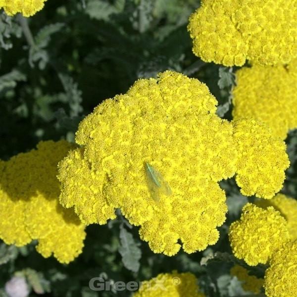 Goldquirl Garbe Schwellenburg - Achillea clypeolata