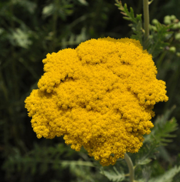 Schafgarbe Golden Plate - Achillea filipendulina