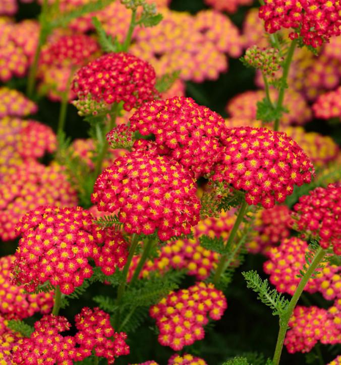 Schafgarbe Red Velvet - Achillea millefolium