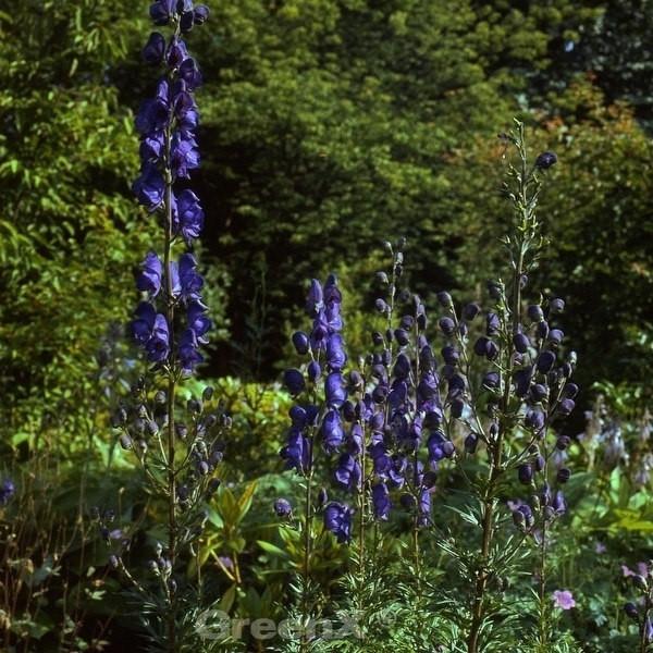 Eisenhut Blue Lagoon - Aconitum cammarum