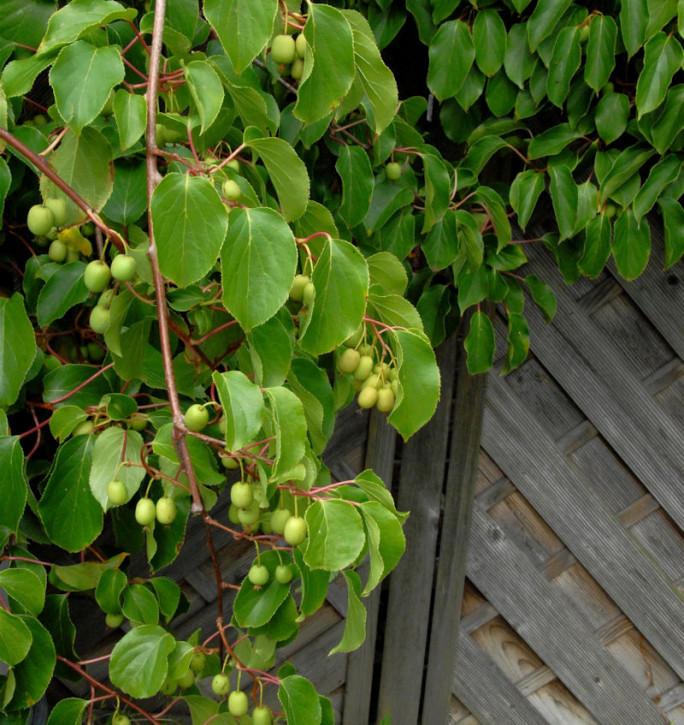 Kiwi Weiki 40-60cm - Actinidia arguta