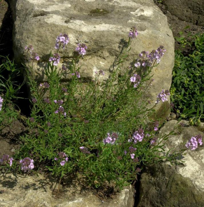 Steintäschel Warley Rose - Aethionema armenum