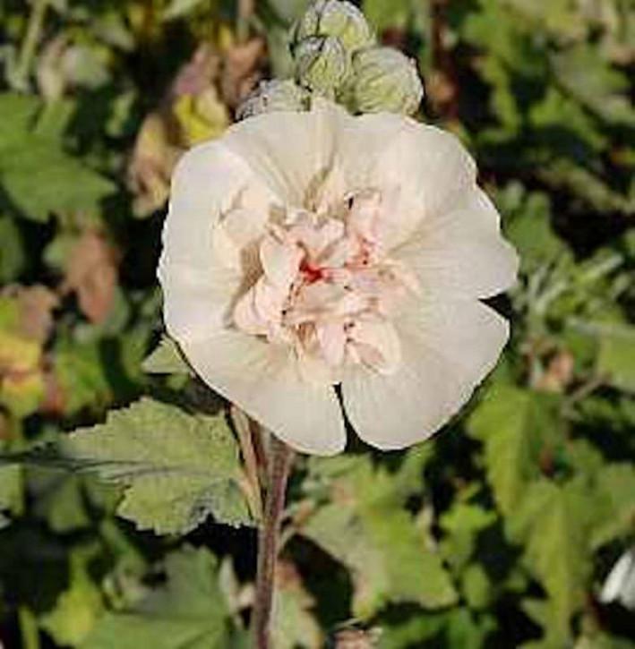 Stockrose Parkallee - Alcalthaea suffrutescens