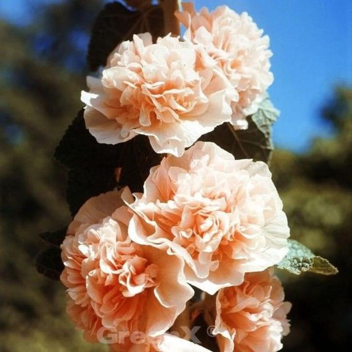 Lachsrosa Stockrose - Alcea rosea