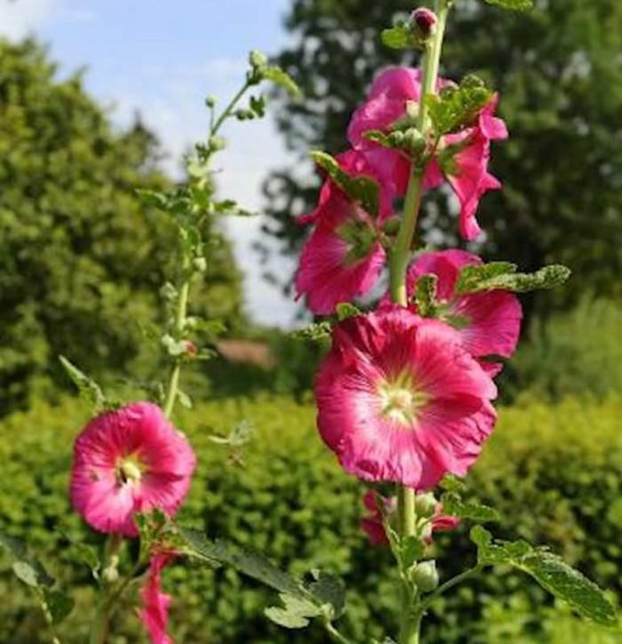 Rote Stockrose - Alcea rosea