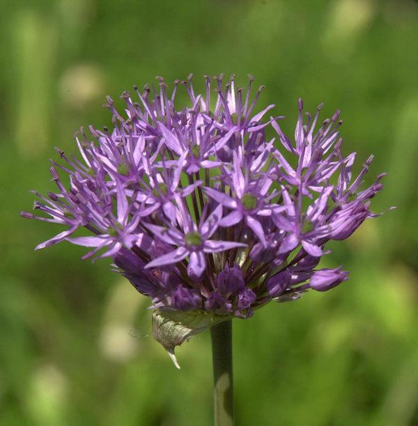 Granat Kugellauch - Allium atropurpureum