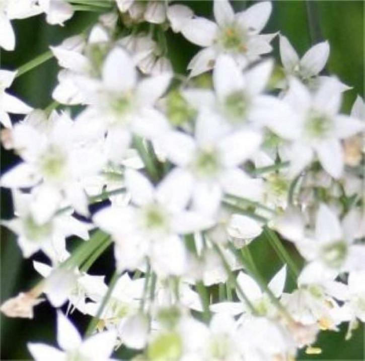 Weisser gekielter Lauch - Allium carinatum