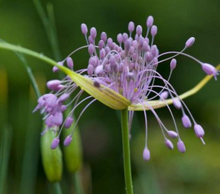 Gekielter Lauch - Allium carinatum