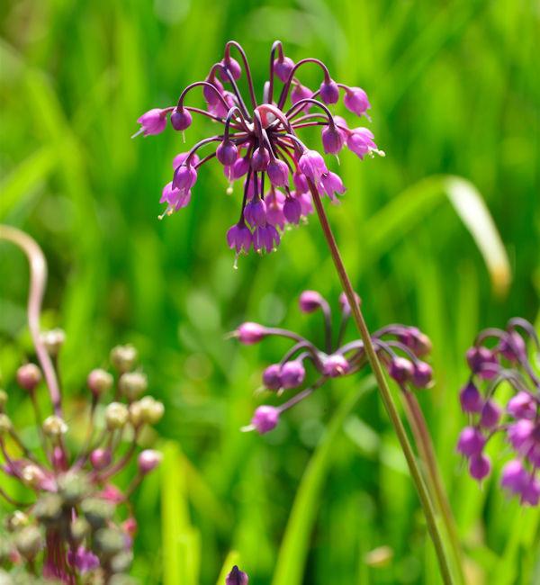 Zierlauch Hidcote - Allium cernuum