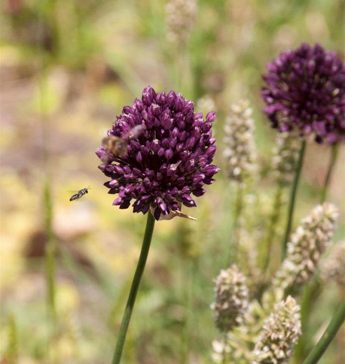 Zierlauch Red Mohican - Allium cultorum