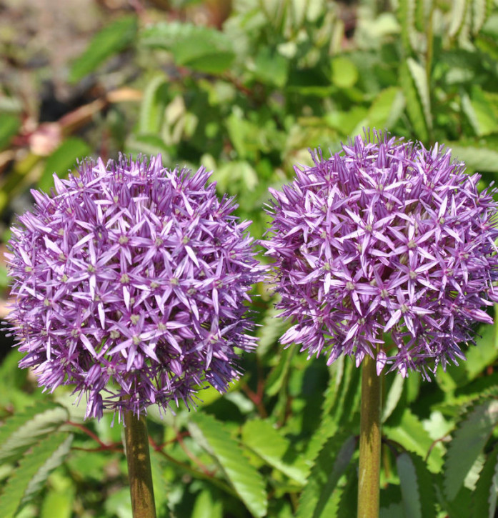 Zierlauch Spider - Allium cultorum