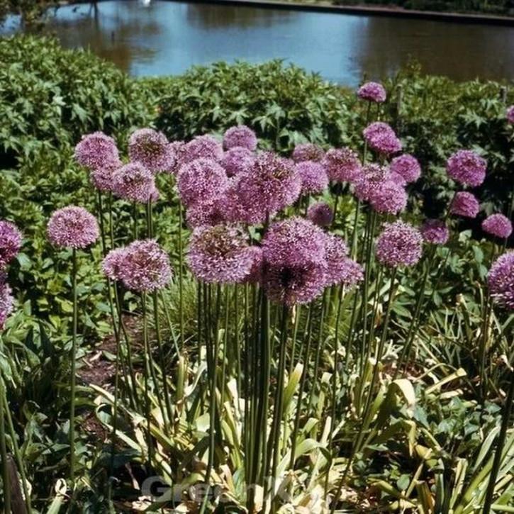 Zierlauch Violet Beauty - Allium cultorum
