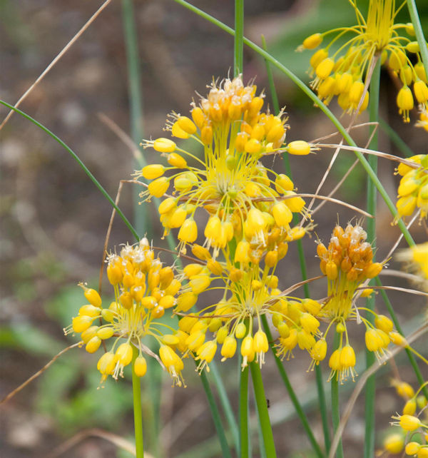 Gelber Lauch - Allium flavum