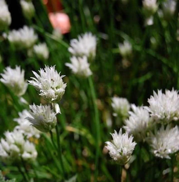 Schnittlauch Corsican White - Allium schoenoprasum