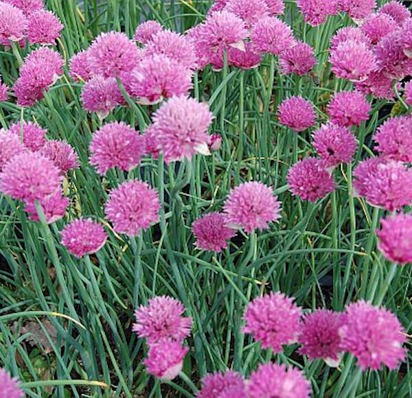 Schnittlauch Forescate - Allium schoenoprasum