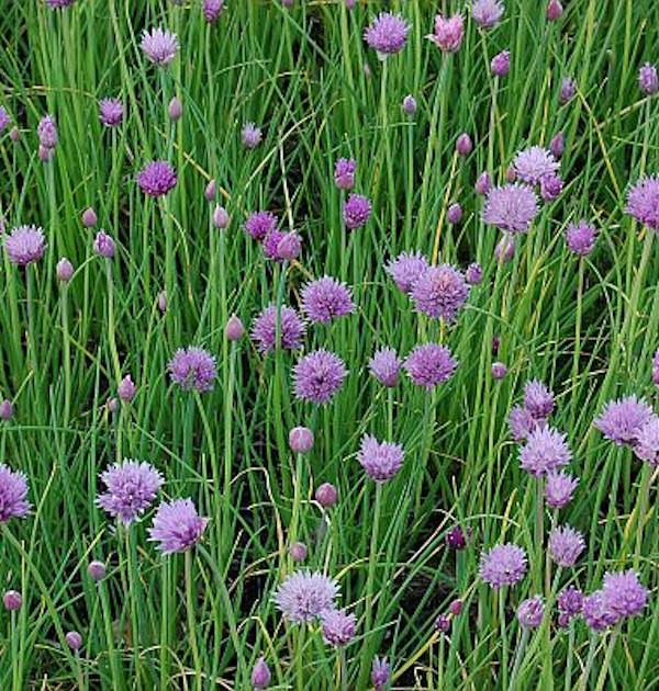 Schnittlauch - Allium schoenoprasum