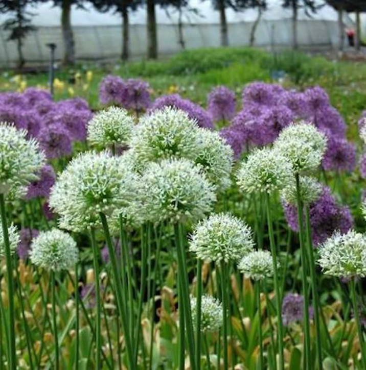 Zierlauch Mont Blanc - Allium stipitatum