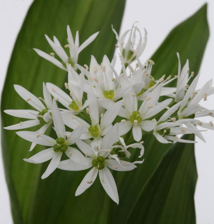Zierlauch weiß Bärlauch - Allium ursinum