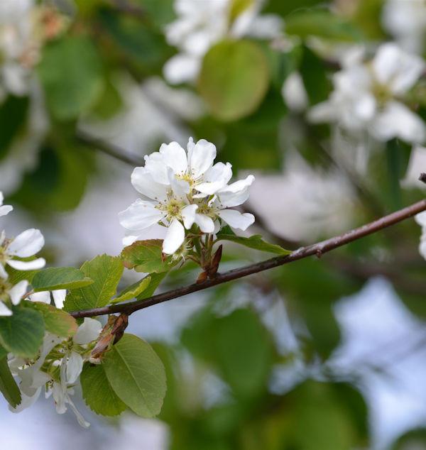 Erlenblättrige Felsenbirne Greatberry Farm 30-40cm - Amelanchier alnifolia