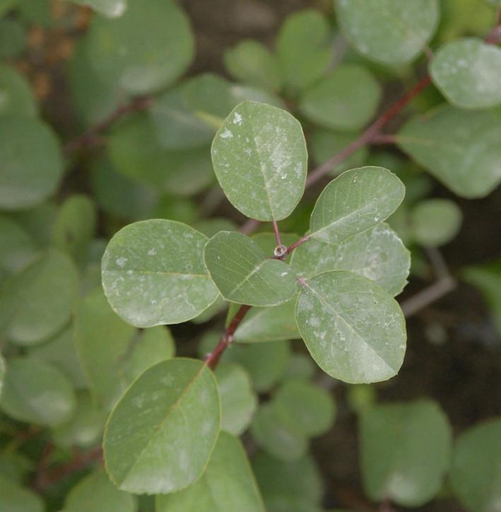 Felsenbirne Helvetica 60-80cm - Amelanchier rotundifolia