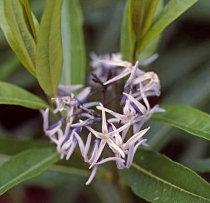 Amsonie - Amsonia tabernaemontana