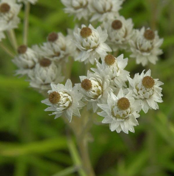 Perlkörbchen Neuschnee - Anaphalis margaritacea