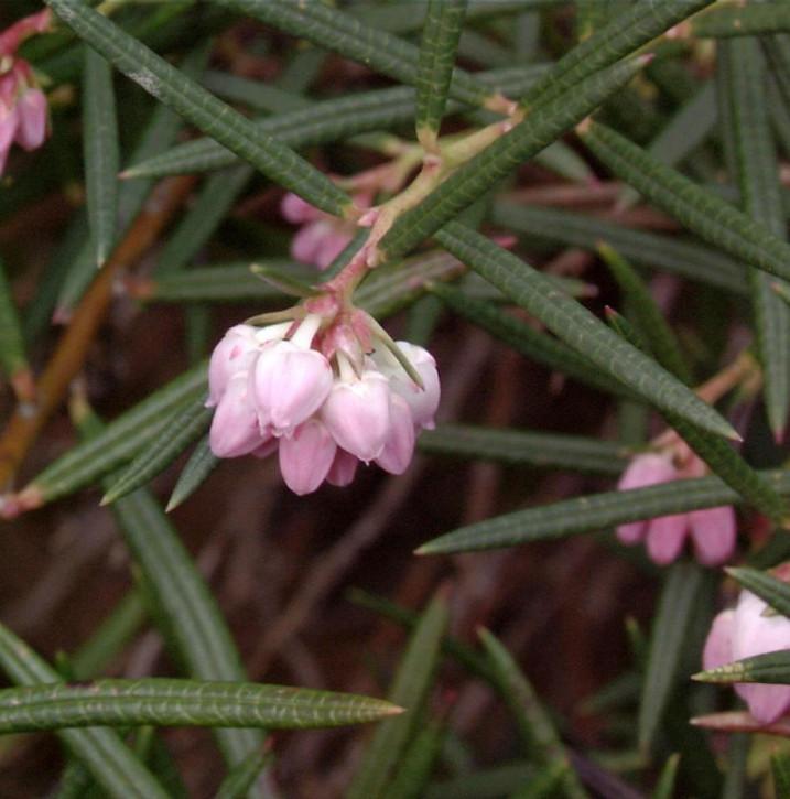 Lavendelheide Glauca - Andromeda polifolia Glauca