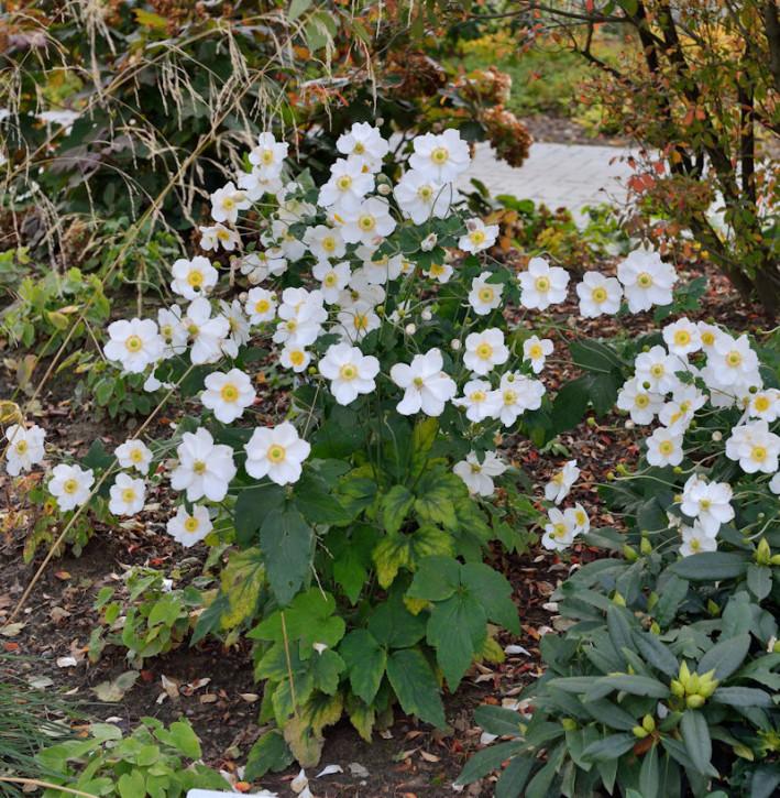 Herbstanemone Honorine Jobert - Anemone japonica