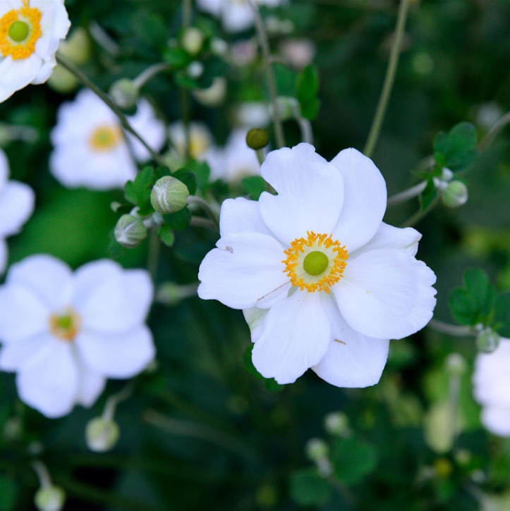 Herbstanemone Pretty Lady Maria - großer Topf - Anemone japonica