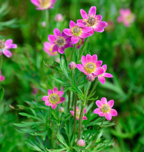 Windröschen Annabella Deep Rose - Anemone multifida