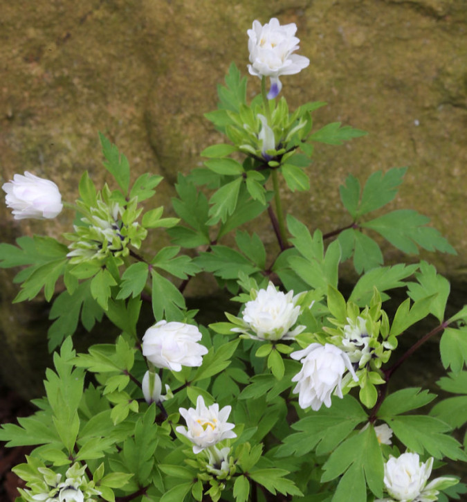 Buschwindröschen Bracteata Pleniflora - Anemone nemorosa