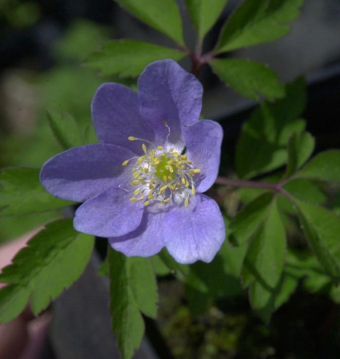 Buschwindröschen Robinson - Anemone nemorosa