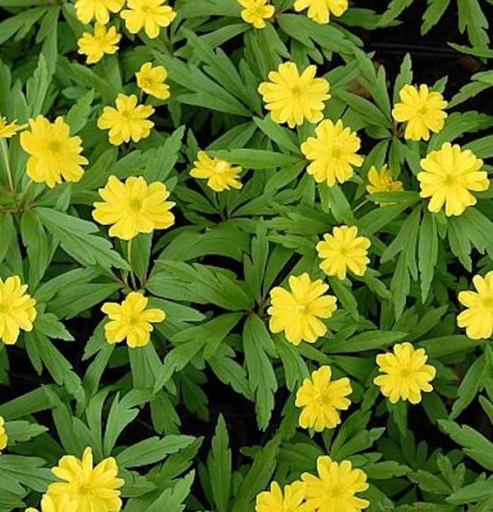 Gelbes Buschwindröschen Semiplena - Anemone ranunculoides