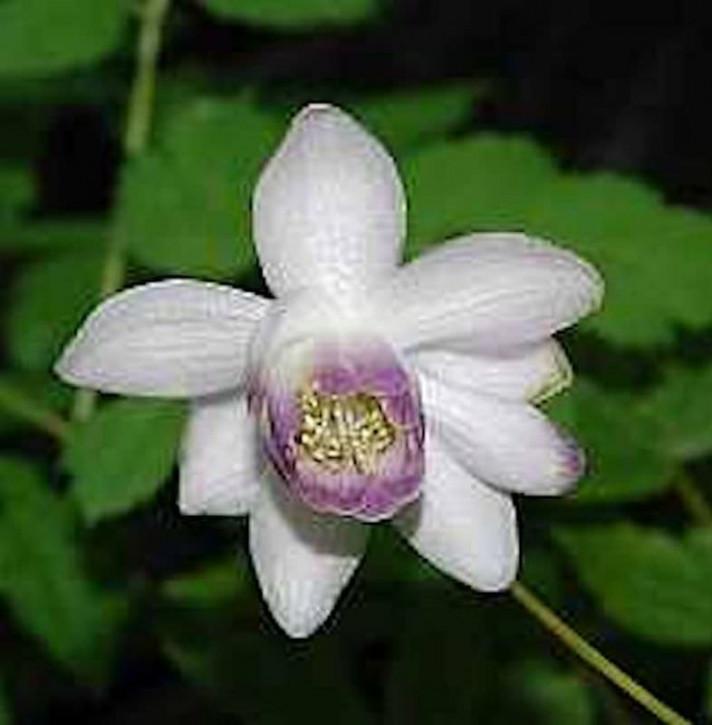 Scheinanemone - Anemonopsis macrophylla